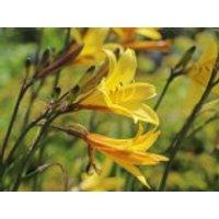 Kleine Taglilie, Hemerocallis minor, Topfware
