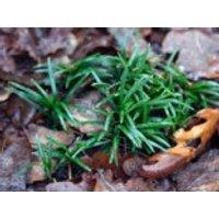Kleiner Schlangenbart 'Minor', Ophiopogon japonicus 'Minor', Topfware