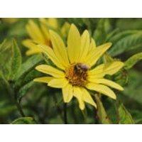 Stauden - Kleinköpfige Sonnenblume 'Lemon Queen', Helianthus microcephalus 'Lemon Queen', Topfware