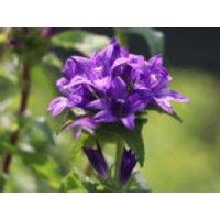 Knäuel-Glockenblume 'Bellefleur Blau', Campanula glomerata 'Bellefleur Blau', Topfware