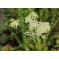 Knollen-Rüsterstaude, Filipendula vulgaris, Topfware