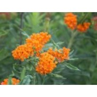Freiflächen - Knollige Seidenpflanze, Asclepias tuberosa, Topfware