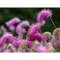 Koreanischer Wiesenknopf 'Pink Brushes', Sanguisorba hakusanensis 'Pink Brushes', Topfware