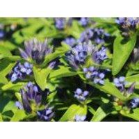 Kreuz Enzian, Gentiana cruciata subsp. cruciata, Topfware