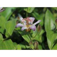Krötenlilie 'Pink Freckles', Tricyrtis hirta 'Pink Freckles', Containerware