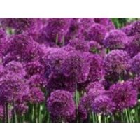 Kugel-Lauch 'Purple Sensation', Allium aflatunense 'Purple Sensation', Topfware
