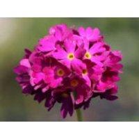 Kugel-Primel 'Rubin', Primula denticulata 'Rubin', Topfware