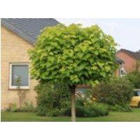 Kugel-Trompetenbaum 'Nana', Stamm 100-110 cm, 125-150 cm, Catalpa bignonioides 'Nana', Stämmchen