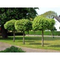Kugelahorn / Kugelbaum 'Globosum', Stamm 100 cm, 140-150 cm, Acer platanoides 'Globosum', Stämmchen