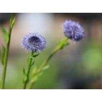Kugelblume, Globularia punctata, Topfware
