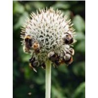 Kugeldistel 'Albus', Echinops banaticus 'Albus', Topfware