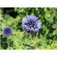 Kugeldistel 'Blue Globe', Echinops bannaticus 'Blue Globe', Topfware
