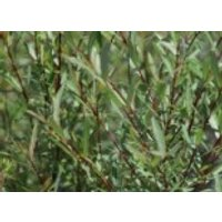 Kugelweide, 30-40 cm, Salix purpurea 'Nana', Containerware