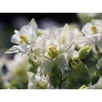 Kurzspornige Akelei 'Alba', Aquilegia vulgaris 'Alba', Topfware