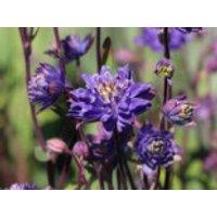 Kurzspornige Akelei 'Clementine Blue', Aquilegia vulgaris 'Clementine Blue', Topfware
