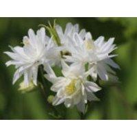 Kurzspornige Akelei 'Clementine White', Aquilegia vulgaris 'Clementine White', Topfware