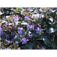 Labrador-Veilchen, Viola labradorica, Topfware