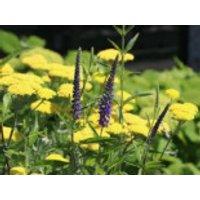 Langblättriger Ehrenpreis, Veronica longifolia, Topfware