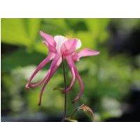Langspornige Akelei 'Rose Queen', Aquilegia caerulea 'Rose Queen', Topfware