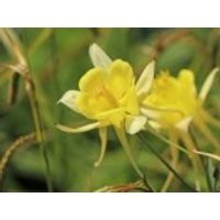Langspornige Akelei 'Yellow Queen', Aquilegia chrysantha 'Yellow Queen', Topfware