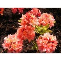Laubabwerfende Azalee 'Arista', 30-40 cm, Rhododendron luteum 'Arista', Containerware