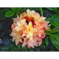 Laubabwerfende Azalee 'Cannon's Double', 30-40 cm, Rhododendron luteum 'Cannon's Double', Containerware