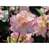 Laubabwerfende Azalee 'Satomi', 25-30 cm, Rhododendron luteum 'Satomi', Containerware