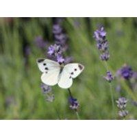 Lavendel 'Munstead Strain', Lavandula angustifolia 'Munstead Strain', Topfware