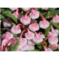 Lavendelheide 'Compacta', 20-25 cm, Andromeda polifolia 'Compacta', Containerware