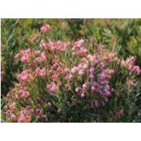 Lavendelheide (echte) / Behaarte Rosmarinheide, 20-25 cm, Andromeda glaucophylla, Containerware