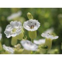 Leimkraut 'Weisskehlchen', Silene uniflora 'Weisskehlchen', Topfware
