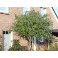 Lockenweide, 100-150 cm, Salix erythroflexuosa, Containerware
