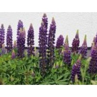 Lupine 'Camelot Blue' ®, Lupinus polyphyllus 'Camelot Blue' ®, Containerware