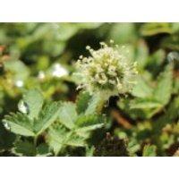 Magellan-Stachelnüsschen, Acaena magellanica, Topfware