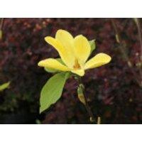 Magnolie 'Daphne', 100-125 cm, Magnolia 'Daphne', Containerware