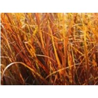 Mahagonigras, Uncinia rubra, Topfware