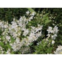 Maiblumenstrauch / Deutzie, 20-30 cm, Deutzia gracilis, Containerware