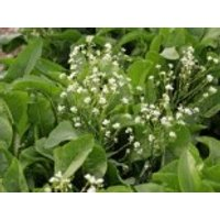 Meerrettich, Armoracia rusticana, Topfware