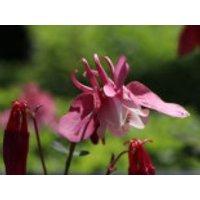 Miniatur-Akelei 'Cameo Rosa-Weiß', Aquilegia flabellata 'Cameo Rosa-Weiß', Topfware