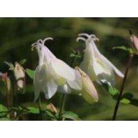 Miniatur-Akelei 'Cameo Weiß', Aquilegia flabellata 'Cameo Weiß', Topfware