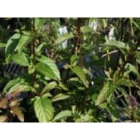 Minze 'Black Spearmint', Mentha spicata 'Black Spearmint', Topfware