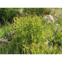 Morgenstern Segge, Carex grayi, Containerware