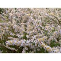 Myrten Aster, Aster ericoides, Topfware