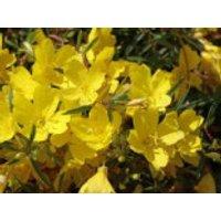 Nachtkerze 'African Sun', Oenothera macrocarpa 'African Sun', Topfware