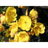 Nachtkerze 'Fyrverkeri', Oenothera tetragona 'Fyrverkeri', Topfware
