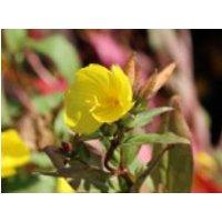 Nachtkerze 'Michelle Ploeger', Oenothera tetragona 'Michelle Ploeger', Topfware