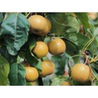 Nashi / Asienbirne / Asiatische Apfelbirne, 60-80 cm, Pyrus pyrifolia, Containerware