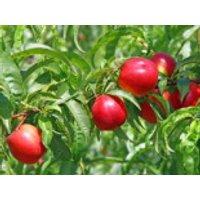 Nektarine 'Fantasia', Stamm 40-60 cm, 120-140 cm, Prunus nuciperisa 'Fantasia', Containerware