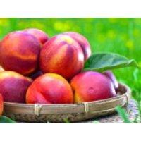 Nektarine 'Nektarose', Stamm 40-60 cm, 120-150 cm, Prunus persica var. nuciperisa 'Nektarose', Containerware