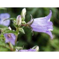 Nesselblättrige Glockenblume, Campanula trachelium, Topfware